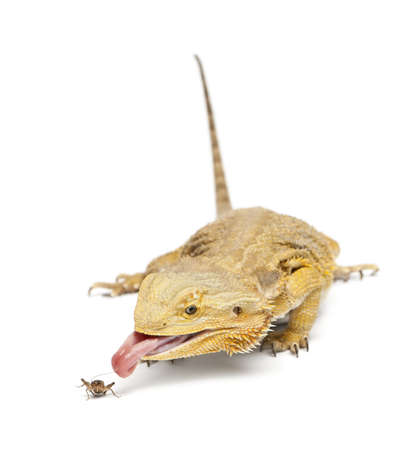 bearded dragon lizard: Central Bearded Dragon, Pogona vitticeps, chasing a cricket in front of white background Stock Photo