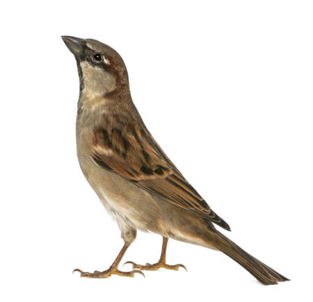 passer by: male House Sparrow - Passer domesticus (5 months old)