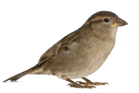 passer by: female House Sparrow - Passer domesticus (5 months old) Stock Photo