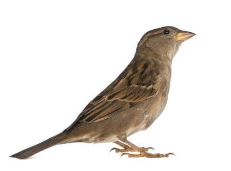 female House Sparrow - Passer domesticus (5 months old) photo