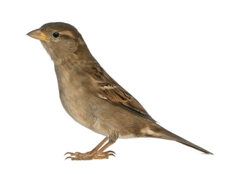 domesticus: female House Sparrow - Passer domesticus (5 months old) Stock Photo