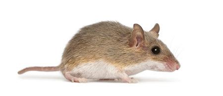 raton: Rat�n pigmeo africano - minutoides Mus, el m�s peque�o de todos los roedores Foto de archivo