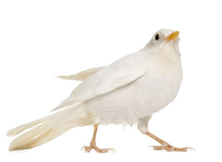 turdus: White Common Blackbird - Turdus merula