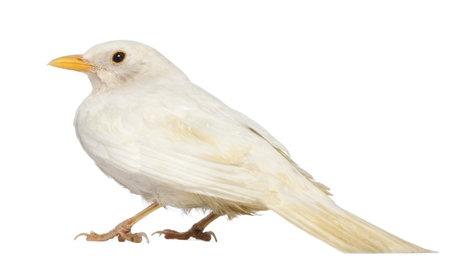 blackbird: White Common Blackbird - Turdus merula