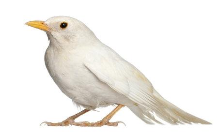 merula: White Common Blackbird - Turdus merula