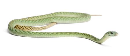 viridis: Western green mamba  - Dendroaspis viridis, poisonous, white background Stock Photo