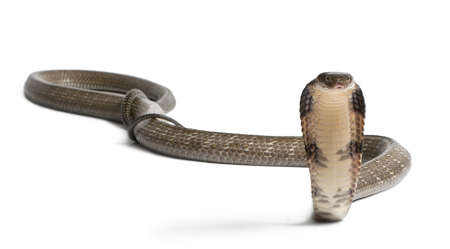 crawling animal: king cobra - Ophiophagus hannah, poisonous, white background
