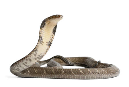 cobra snake: king cobra - Ophiophagus hannah, poisonous, white background