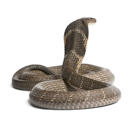 serpiente cobra: King Cobra - Ophiophagus hannah, de fondo venenoso, blanco