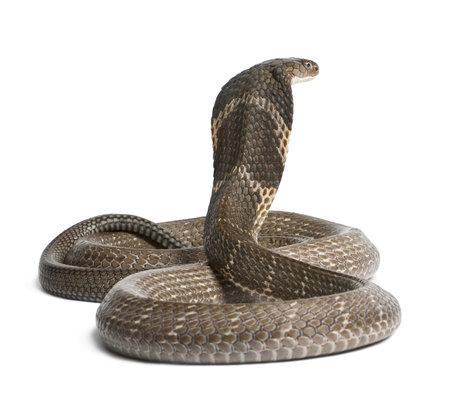 cobra: King Cobra - Ophiophagus Hannah, velenosa, sfondo bianco