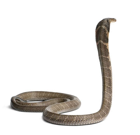 cobra: King Cobra - Ophiophagus hannah, de fondo venenoso, blanco