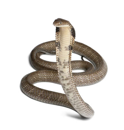 king cobra - Ophiophagus hannah, poisonous, white background photo