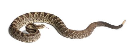 Sudamericano serpente a sonagli - Crotalus durissus, velenosa, sfondo bianco