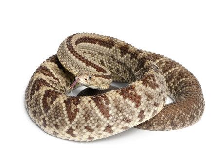 serpiente de cascabel: Víbora de cascabel de América del Sur - Crotalus durissus, el fondo venenoso, blanco