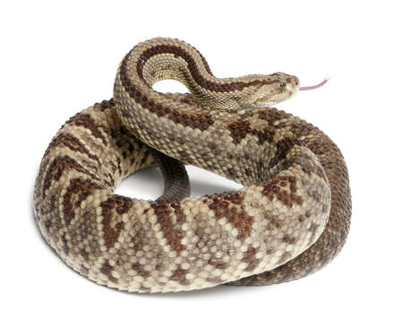 rattlesnake: South American rattlesnake - Crotalus durissus,  poisonous, white background
