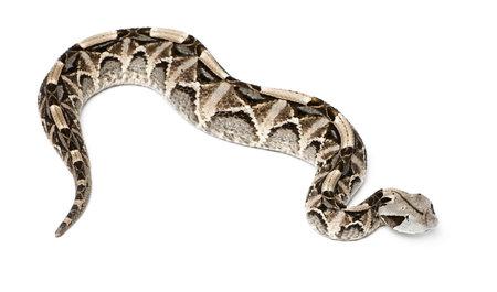 Gaboon viper - Bitis gabonica, poisonous, white background photo