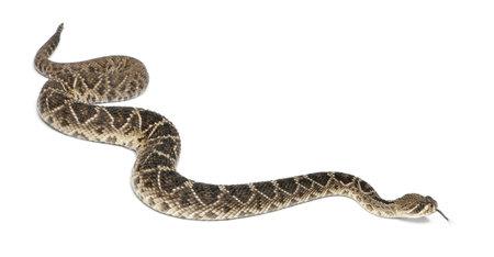 serpiente de cascabel: este diamante cascabel - Crotalus adamanteus, de fondo venenoso, blanco
