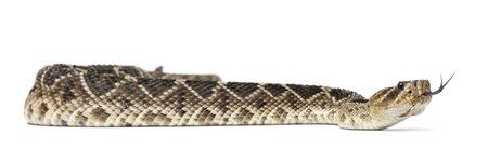 poisonous: eastern diamondback rattlesnake - Crotalus adamanteus , poisonous, white background