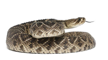 serpiente de cascabel: diamondback serpiente de cascabel del este - Crotalus adamanteus, fondo venenoso, blanco