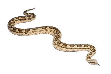 poisonous: Moorish viper  - Macrovipera mauritanica, poisonous, white background