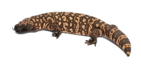 Gila monster - Heloderma suspectum, poisonous, white background photo