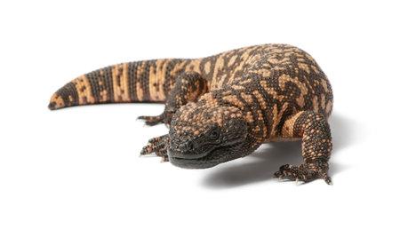 lagarto: Monstruo de Gila - Heloderma suspectum, de fondo venenoso, blanco