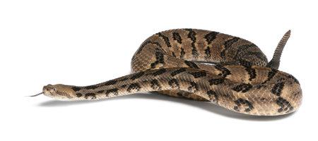 poisonous: Timber rattlesnake - Crotalus horridus atricaudatus, poisonous, white background