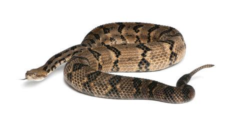 sonaja: Serpiente de cascabel - Crotalus horridus atricaudatus, de fondo venenoso, blanco Foto de archivo