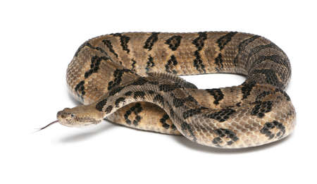 serpiente de cascabel: Serpiente de cascabel de madera - Crotalus horridus atricaudatus, fondo venenoso, blanco