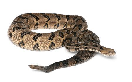 serpiente de cascabel: Serpiente de cascabel - Crotalus horridus atricaudatus, de fondo venenoso, blanco Foto de archivo