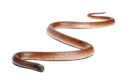 egyptian cobra: Cobra egiziano - Naja Haje, velenosa, sfondo bianco Archivio Fotografico