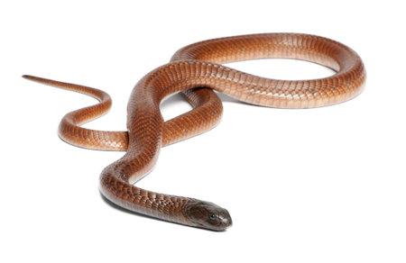 egyptian cobra: Egyptian cobra - Naja haje, poisonous, white background