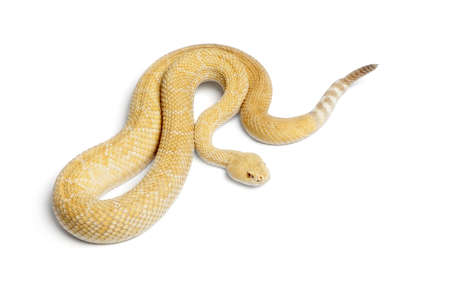 albinos western diamondback rattlesnake - Crotalus atrox, poisonous, white background  Stock Photo - 13583229