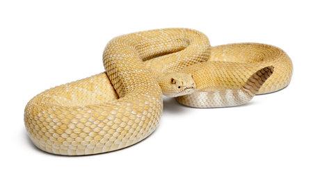 serpiente de cascabel: albinos serpiente de cascabel de Diamondback occidental - Crotalus atrox, de fondo venenoso, blanco Foto de archivo