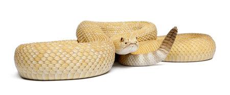 poisonous: albinos western diamondback rattlesnake - Crotalus atrox, poisonous, white background