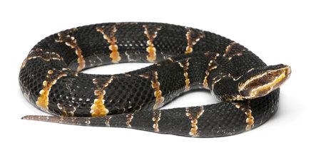 vertebrate animal: common cantil or Mexican moccasin - Agkistrodon bilineatus taylori, poisonous, white background