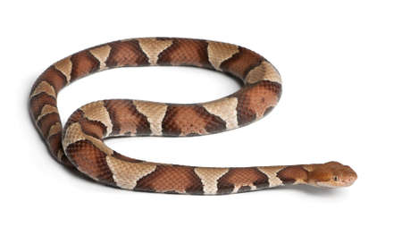 snake head: Copperhead snake or highland moccasin - Agkistrodon contortrix, poisonous, white background
