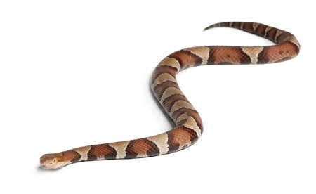 slithering: Copperhead snake or highland moccasin - Agkistrodon contortrix, poisonous, white background