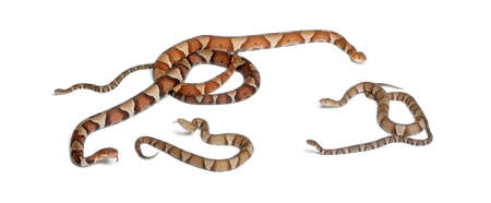 male and female and babies Copperhead snake or highland moccasin - Agkistrodon contortrix, poisonous, white background photo