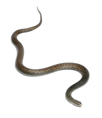 colubridae: Montpellier snake - Malpolon monspessulanus, poisonous Stock Photo