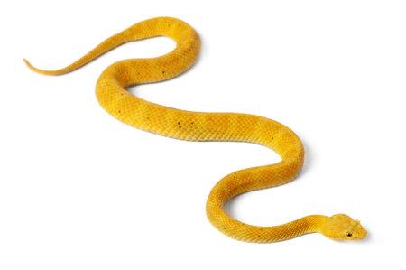 poisonous: Yellow Eyelash Viper - Bothriechis schlegelii, poisonous, white background