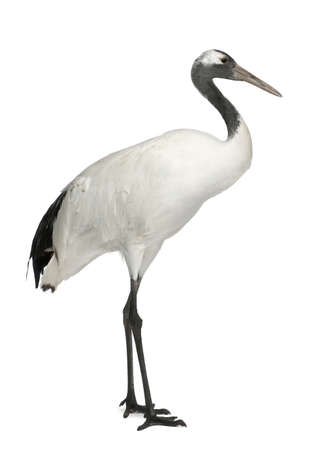 alone bird: Young Red-crowned Crane, Grus japonensis, also called the Japanese Crane or Manchurian Crane, standing in front of white background Stock Photo