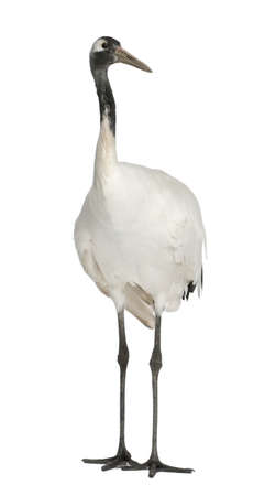 Young Red-crowned Crane, Grus japonensis, also called the Japanese Crane or Manchurian Crane, standing in front of white background photo