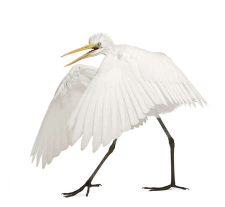 open wings: Great Egret or Great White Egret or Common Egret, Ardea alba, standing in front of white background