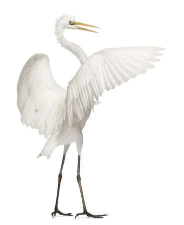 alba: Great Egret or Great White Egret or Common Egret, Ardea alba, standing in front of white background