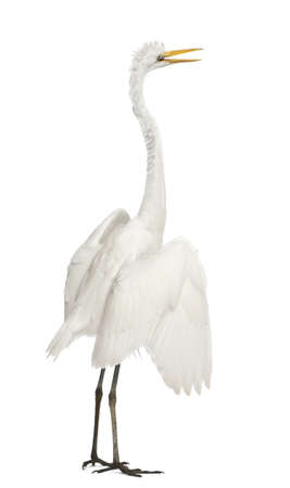 egret: Great Egret or Great White Egret or Common Egret, Ardea alba, standing in front of white background