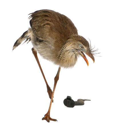 Red-legged Seriema or Crested Cariama, Cariama cristata, standing in front of white background photo