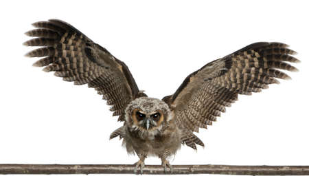 Portrait of Brown Wood Owl, Strix leptogrammica, flying in front of white background, six months old photo