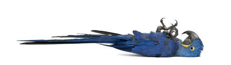 hyacinth: Hyacinth Macaw, Anodorhynchus hyacinthinus in front of white background