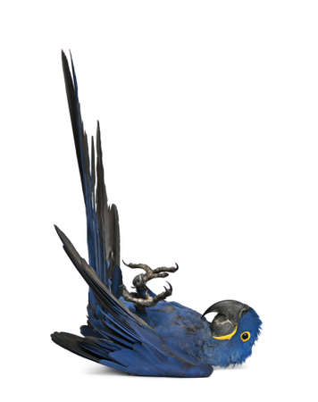 hyacinth: Portrait of Hyacinth Macaw, Anodorhynchus hyacinthinus in front of white background